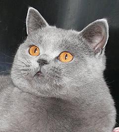 Характер британского кота: британские коты, поведение, особенности ... | 266x240
