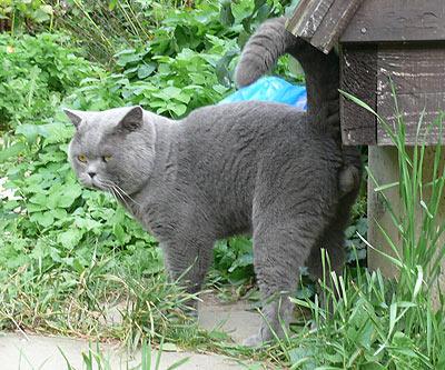 Кто лучше британские кошки или коты