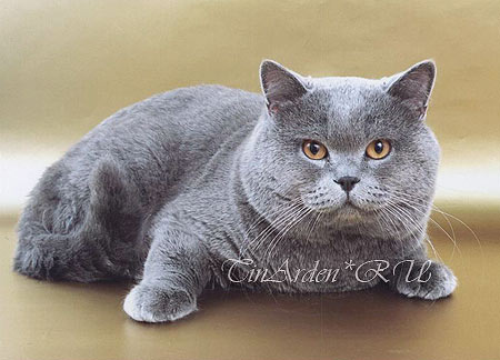 British cat <i>(2003, V. Sinitsin's photoshoot)</i>